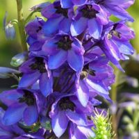 Дельфиниум «Блэк Найт» (Delphinium «Black Knight»)